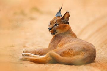 Caracal, African lynx, in orange sand desert, Etosha NP, Namibia. Beautiful wild cat in nature habitat, South Africa. Animal face to face sitting on gravel road, Felis caracal.