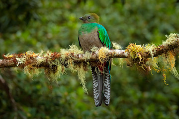 Resplendent Quetzal, Savegre in Costa Rica with green forest in background. Magnificent sacred green and red bird. Detail portrait of beautiful tropic animal. Bird with long tail.
