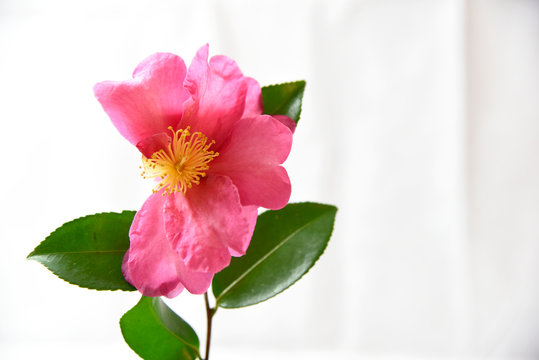 pink flowers on white background
