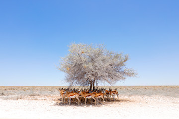Dry hot day with sun in Etosha NP, Namibia. Herd of antelope springbok hidden  below the tree, in the shadow. Animal behaviour in the Africa. Savannah with blue sky. Group of springboks.