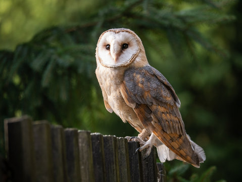 Barn owl (Tyto alba) sitting on a wooden fence. Forest in background. Barn owl portrait. Owl sitting on fence. Owl on fence.