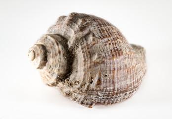 Detail einer Schnecke, Muschel