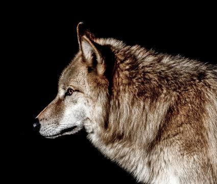 Gray Wolf Profile on black background