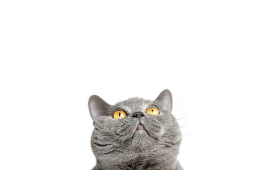 Gray British cat looking up on a white background