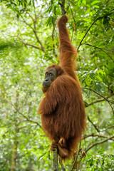 Wall Mural - Sumatran Orang-utan - Pongo abelii, hominid primate from Sumatran forests, Indonesia.
