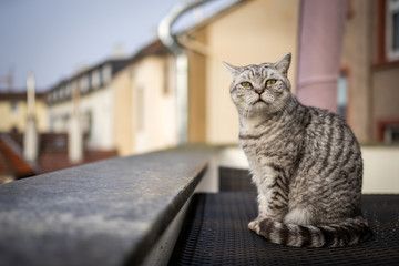A British Shorthair cat in Frankfurt