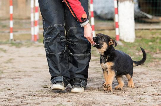 shepherd puppy in training