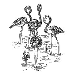 Flock of pink flamingos standing in the water. Sketch. Engraving style. Vector illustration.