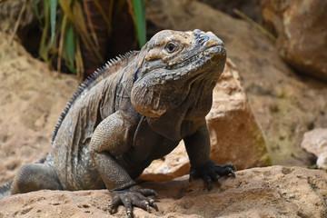 Close up portrait of rhinoceros iguana on rocks