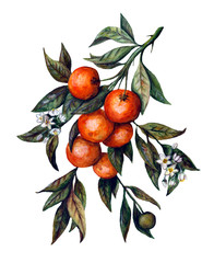 Watercolor branch of tangerines