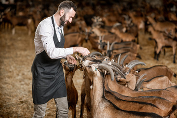 Handsome farmer taking care of the beautiful goats of alpine breed in the big stable of the milk farm