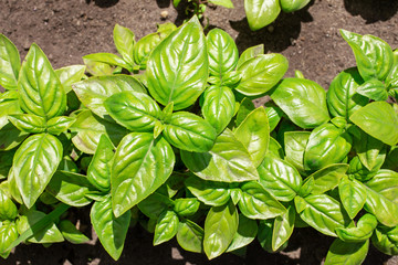 Growing basil plants. Gardening, outdoors shot  top view