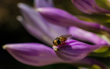 Beautiful purple violet flower with tiny bee