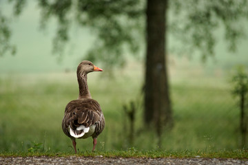 Proud Greylag goose
