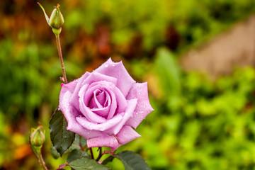 Purple rose in garden