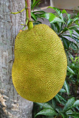 Jackfruits on tree tropical fruit in garden