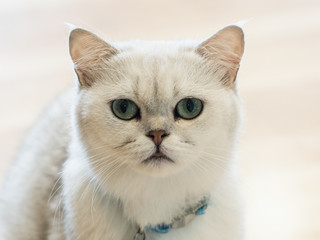 The white-gray cat sits wonderfully on the floor in the room.