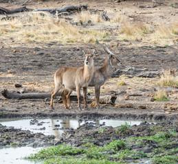 Waterbuck Antelope