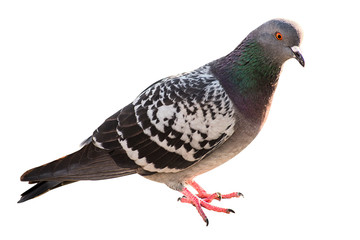 Pigeon isolated