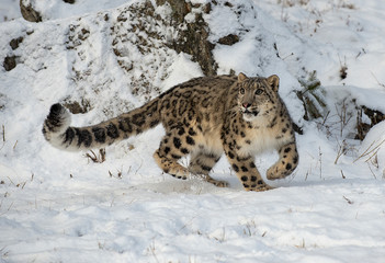 In de dag Luipaard Snow Leopard Hunting