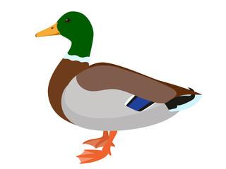Drake duck isolated on white background, vector illustration of male mallard duck