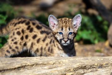 Poster Puma Baby cougar, mountain lion or puma