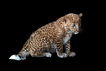 Wall Mural - Leopard cub on a black background