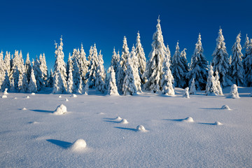 Winter Landscape of fir trees covered by fresh snow under sunny blue sky