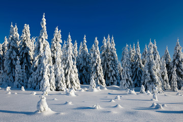 Fir Forest in Winter Landscape under sunny blue sky covered by fresh snow
