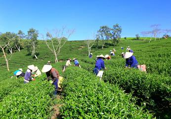 Dalat, Vietnam, November 20, 2018: A group of farmers picking tea on a summer afternoon in Cau Dat tea plantation, Da lat, Vietnam