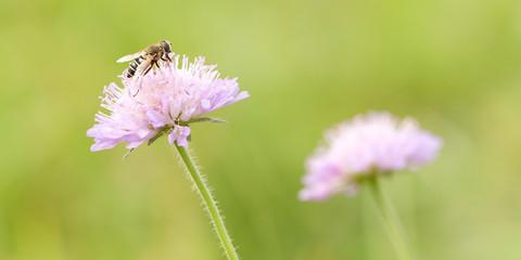 tender pink flower knautia blooming in letme park or in a meadow