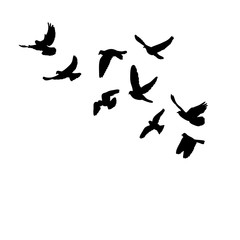 a flock of flying birds, black silhouette of pigeons fly