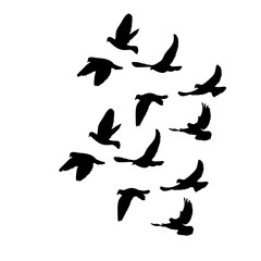 isolated, flock of flying birds, black silhouette of pigeons