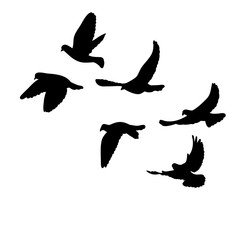 isolated, flock of flying birds, silhouette of pigeons