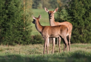 Roe deer with fawn grazing in the meadow. Wildlife scene from nature.