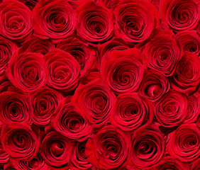flower rose petal blossom red nature beautiful background