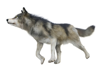 3D Rendering Gray Wolf on White Wall mural