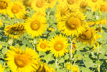 Beautiful landscape with field of blooming sunflowers field over bright sun lights.Thailand.