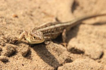 A little brown lizard runs across the brown sands of the desert.