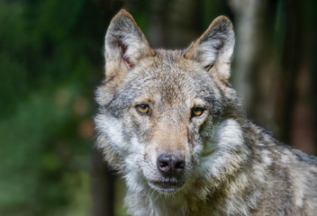 Head shot of grey wolf (Canis lupus) Wildlife photo