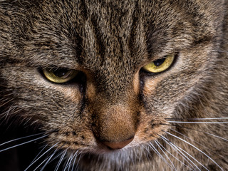 Close-up Portrait of Brown Tabby Siberian cat looks unhappy and sad on isolated black background, front view.