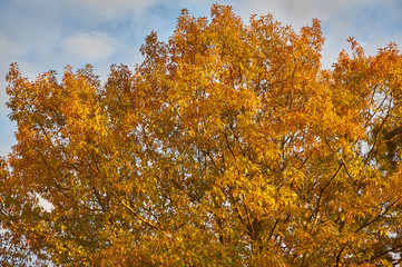 Red Oak (Quércus rúbra). Yellow leaves with shades of red on an oak crown against the sky, in gray clouds. Golden autumn for design.