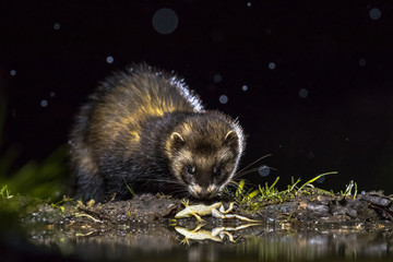 European polecat with frog prey Wall mural
