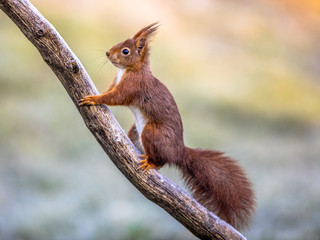 Red squirrel on frosty branch