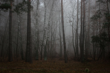 misty forest in fog