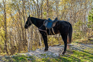 Black horse with saddle stands in the nature in autumn