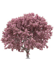 Pink sakura japanese tree, cherry blossom isolated on white background with clipping path.
