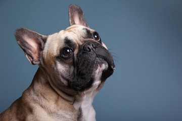 Papiers peints Bouledogue français Bulldog in front of a colored background