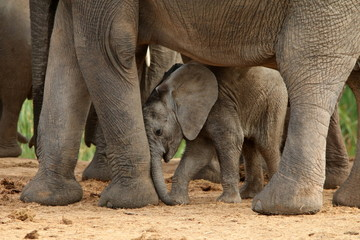 Cute elephant calf rubbing his itchy trunk on his mother's leg.