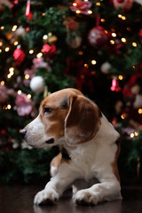 Beagle dog on the floor of a dark wood on the background of a Christmas tree